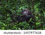 Old Chimpanzee Sitting On A...
