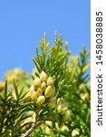 Lawsons Cypress Ivonne   Latin...