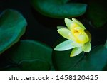 Closeup Beautiful Lotus Flower...