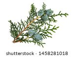 chinese thuja with cones... | Shutterstock . vector #1458281018