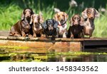 Group Dog  Dachshund Sits By...