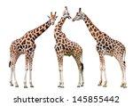 giraffes isolated on white...   Shutterstock . vector #145855442