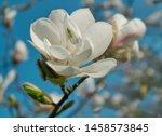 White Flower Magnolia Blooming...