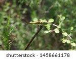 Stock photo flying adder dragonfly or odonata dragonfly sitting on a branch 1458661178