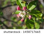Apple Tree Pink Blossom With...