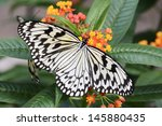 Tropical Butterfly  The Large...
