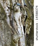 Small photo of bark of the oldest oak in Europe (appr.1500 years)