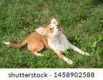 Stock photo chihuahua puppies cute chihuahua puppies walk frolic and smile on the green grass in the park 1458902588