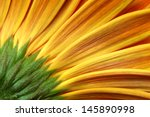 Gerbera Flower Closeup...