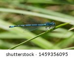 Azure Damselfly Eating On A...