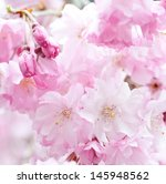 pink cherry blossoms of a lot... | Shutterstock . vector #145948562