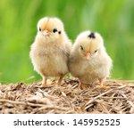 Pair Of Cute Babies Chicken On...