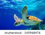 Green Sea Turtle Swimming In...