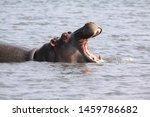 Hippopotamus Heads Out Of Wate...