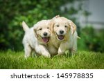 Stock photo two running puppy of golden retriever 145978835