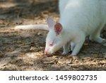 Image Of White Kangaroo....