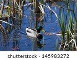 Mallard Duck Wondering In The...