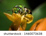 Colorful orchid bee or Exaerete on a yellow tropical flower. Amazing Costa Rica fauna. Euglossini family.