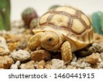 Stock photo cute portrait of baby tortoise hatching africa spurred tortoise birth of new life closeup of a 1460441915