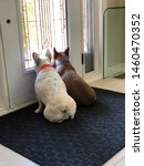 Two French Bulldogs Waiting By...
