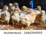 Chicks In Chicken Farm. Yellow...