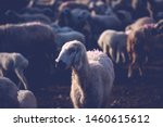 Sacrificial sheep herd is...