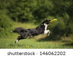 Border Collie Catching Frisbee...