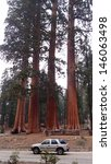 Sequoia Trees In Contrast With...