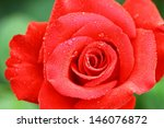 rose on the early morning | Shutterstock . vector #146076872