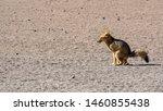 culpeo or andean fox in eduardo ... | Shutterstock . vector #1460855438