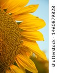 On The Field Of Sunflowers Wit...