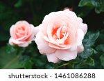 Aphrodite Hybrid Tea Rose In...