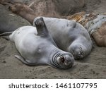 Gray Elephant Seal Stretches...