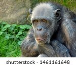 Portrait Of An Old Chimpanzee...