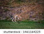 Stock photo hares running on field in sweden 1461164225