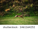 Stock photo hares running on field in sweden 1461164252