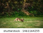 Stock photo hares running on field in sweden 1461164255