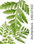 green fern leaf   Shutterstock . vector #146137322