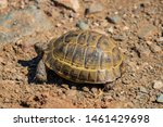 Stock photo a wild tortoise roaming freely in central turkey spur thighed tortoise testudo graeca in the 1461429698