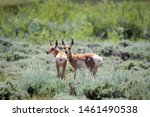 Young Pronghorn Antelope Fawns...