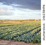 Fresh green lettuce growing in rows in a lettuce farm - stock photo