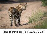 A Big Male Leopard Looking Back