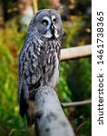 Stock photo the great grey owl or great gray owl strix nebulosa is a very large owl documented as the world 1461738365