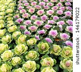 Ornamental Kale In Green And...