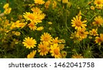 yellow flower of dahlberg daisy ... | Shutterstock . vector #1462041758