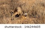 bat eared fox  otocyon... | Shutterstock . vector #146244605