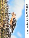 Gila Woodpecker On Saguaro...