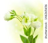 Bunch of white Flowers  with Buds on defocused background  / Eustoma ( Lisiantus ) - stock photo