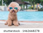 Cute Toy Poodle Wearing...