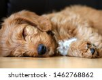 Stock photo red cute labradoodle puppy sleeping cute puppy asleep on floor 1462768862